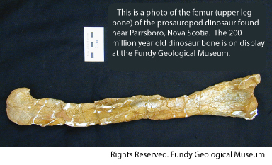 Jurassic dinosaur bone from Nova Scotia