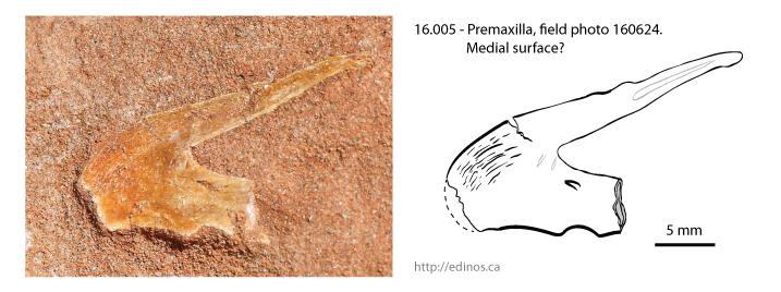 16.005 - Premaxilla